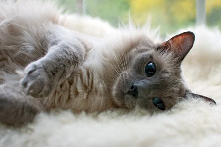 Balinese cat