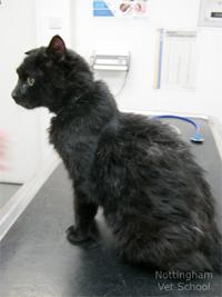 cat hyperthyroidism