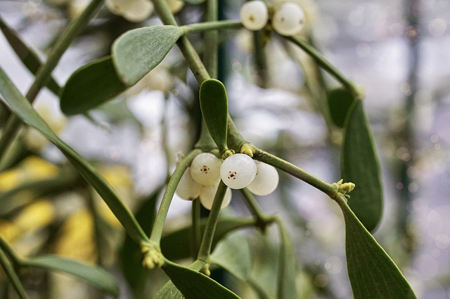 Mistletoe toxic to cats