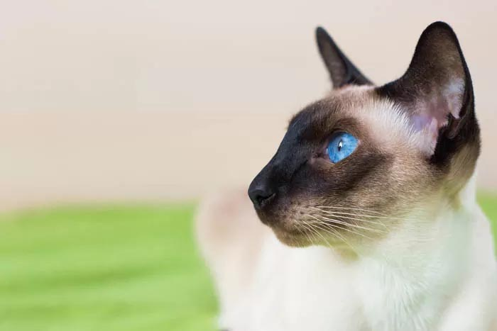 Siamese cat genetics