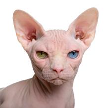 Odd-eyed Sphynx cat