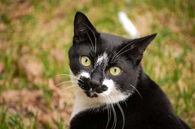 https://cat-world.com/images/tuxedo112.jpg