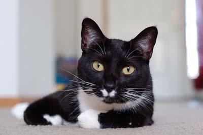https://cat-world.com/images/tuxedo114.jpg