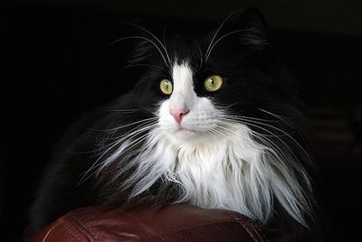 https://cat-world.com/images/tuxedo115.jpg