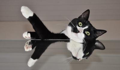 https://cat-world.com/images/tuxedo117.jpg