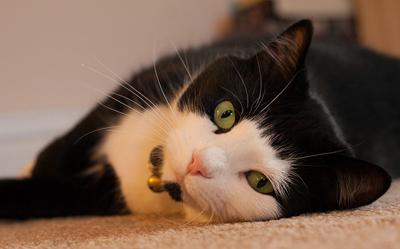 https://cat-world.com/images/tuxedo130.jpg