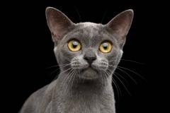 blue-burmese-kitten-3