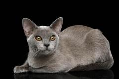 burmese-cat-breed-profile-3