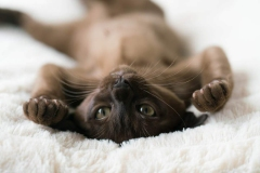 burmese-cat-lying-on-its-back