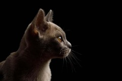 burmese-kitten-e1625733250526
