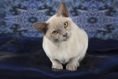 young-burmese-cat