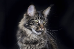 Maine coon cat portrait.