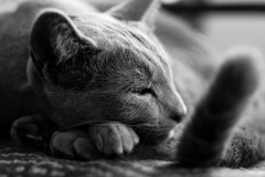 Curled up russian blue cat prepares to sleep