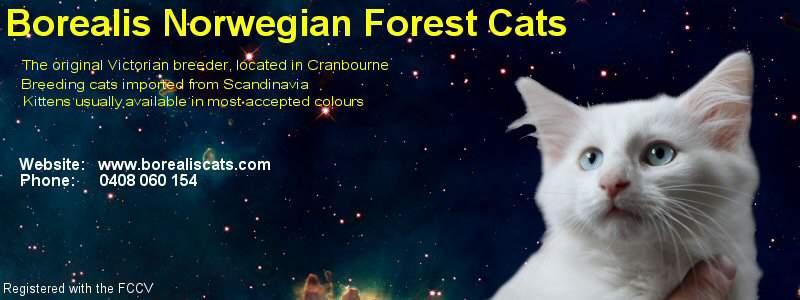 Borealis Norwegian Forest cat