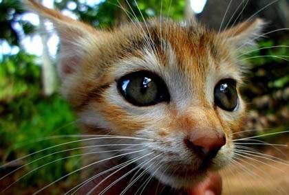 Desexing a kitten