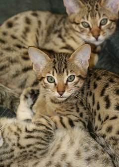 Cheetoh cat