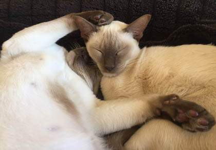 Child friendly Tonkinese cats