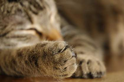 Ibuprofen toxicity in cats