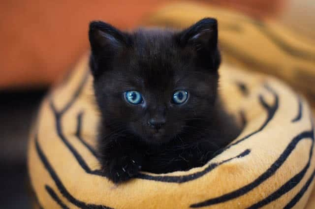 All kittens are born with blue eyes
