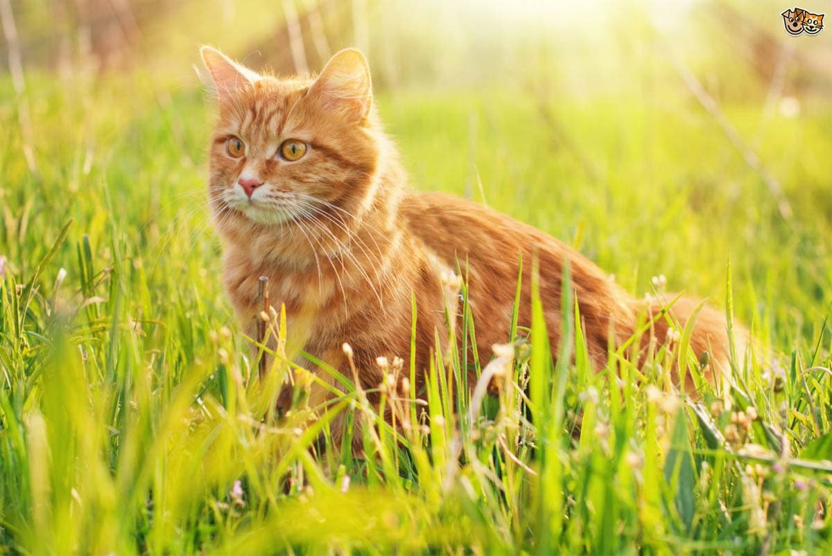 Hay fever in cats