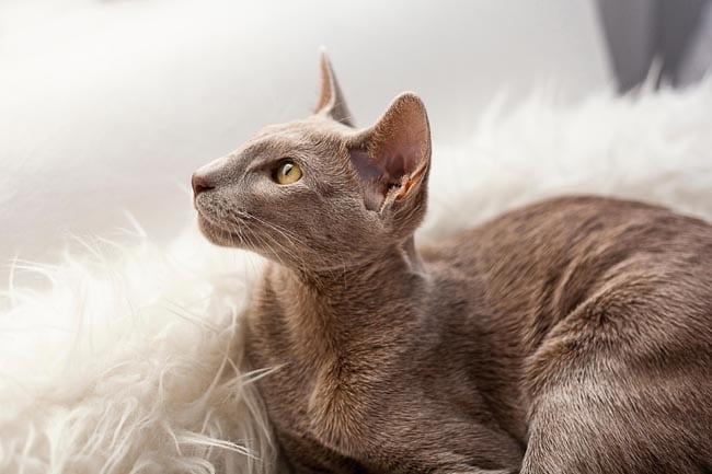 Pleural effusion in cats