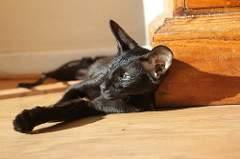 Heinz Body Hemolytic Anemia in Cats 1