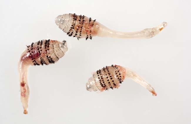 Cuterebra encephalopathy