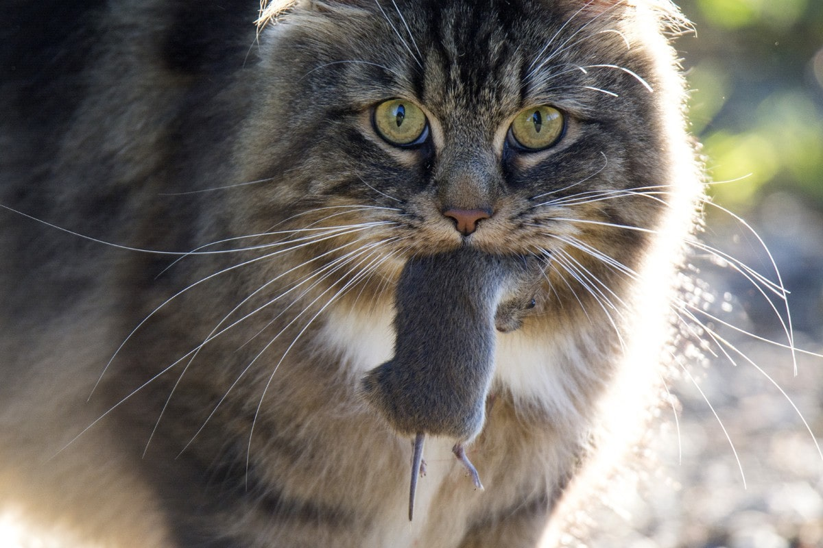Diseases cats catch from hunting