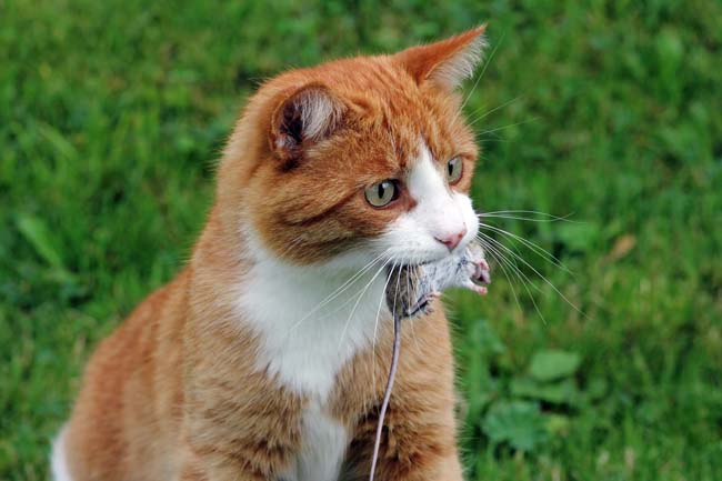 Diseases cats can catch from hunting
