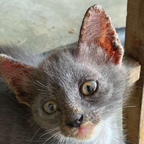 Scabs on the ears of a kitten with mites