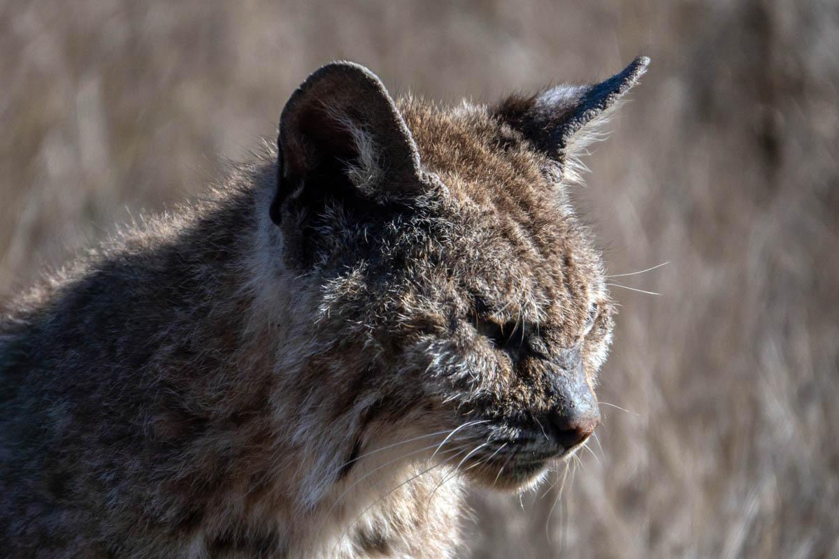 Notoedric mange (feline scabies)