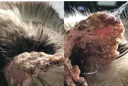 Pemphigus on a cat's ear