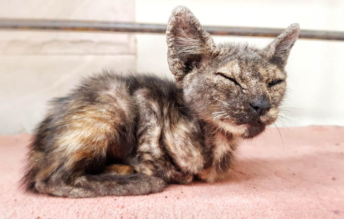 Scabs on cat ears