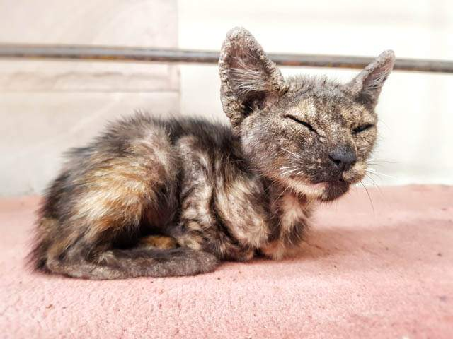 Common Causes of Scabs on Cats