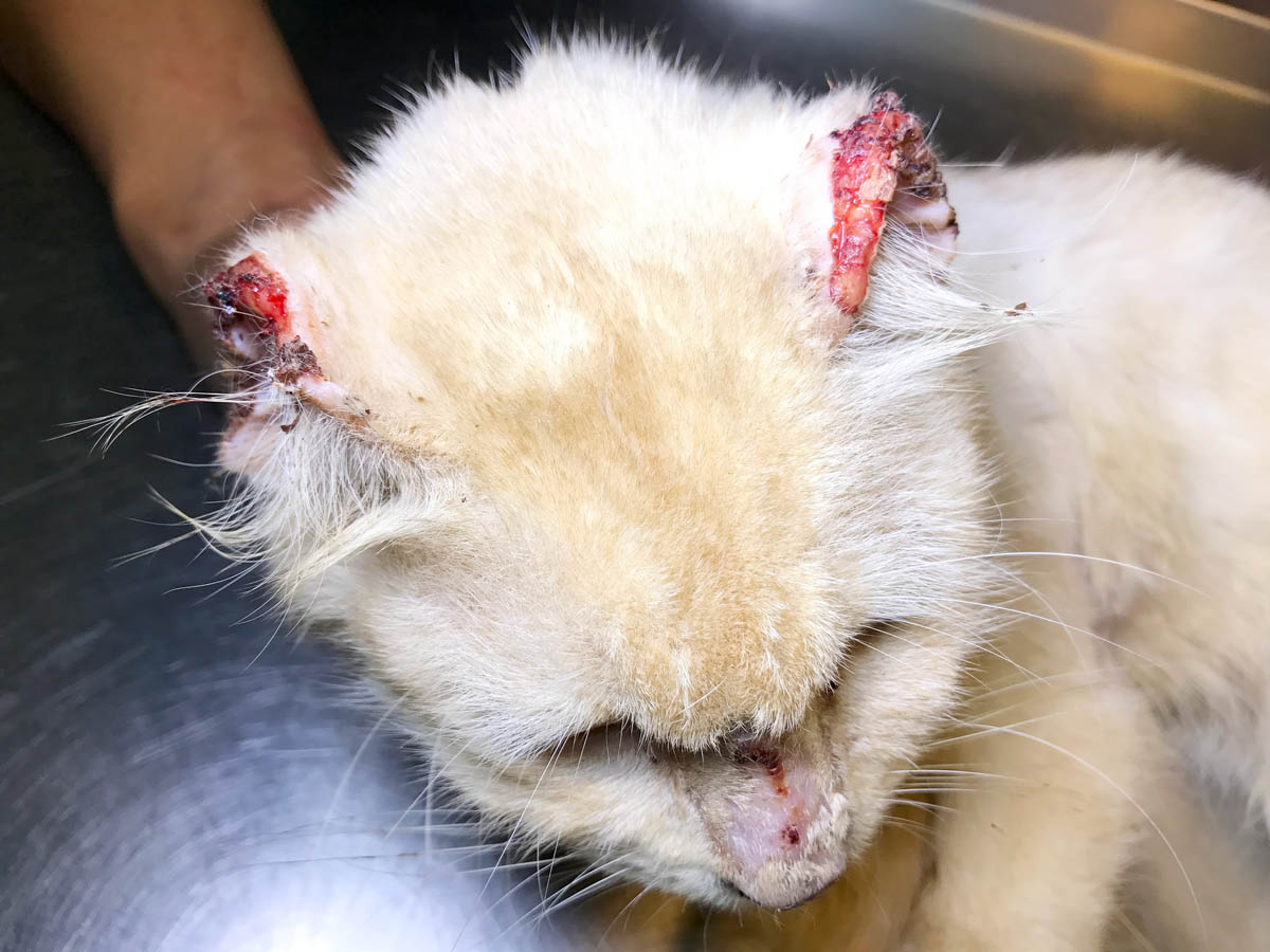 Squamous cell carcinoma on a cat's ears
