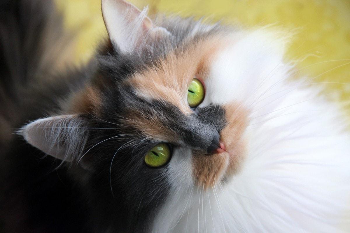 Blue and cream calico cat