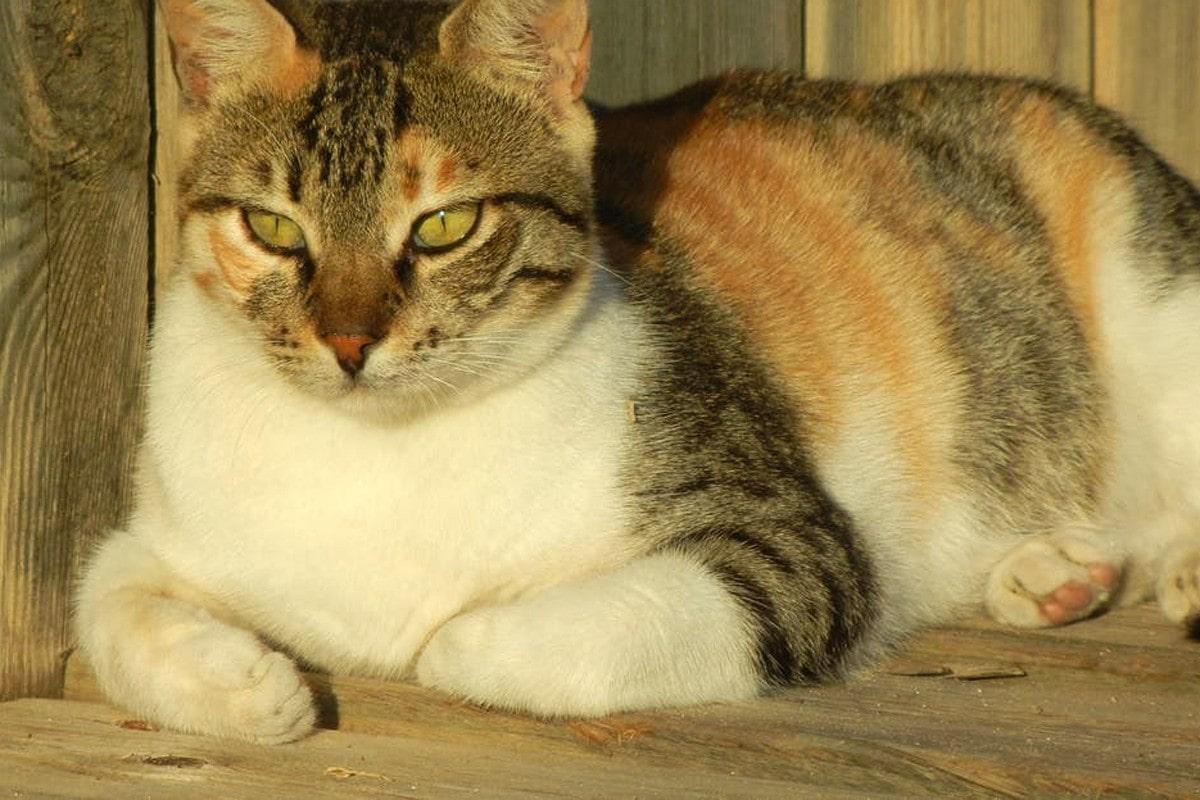 Caliby cat