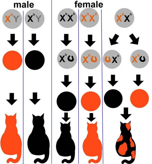 Calico cat chart