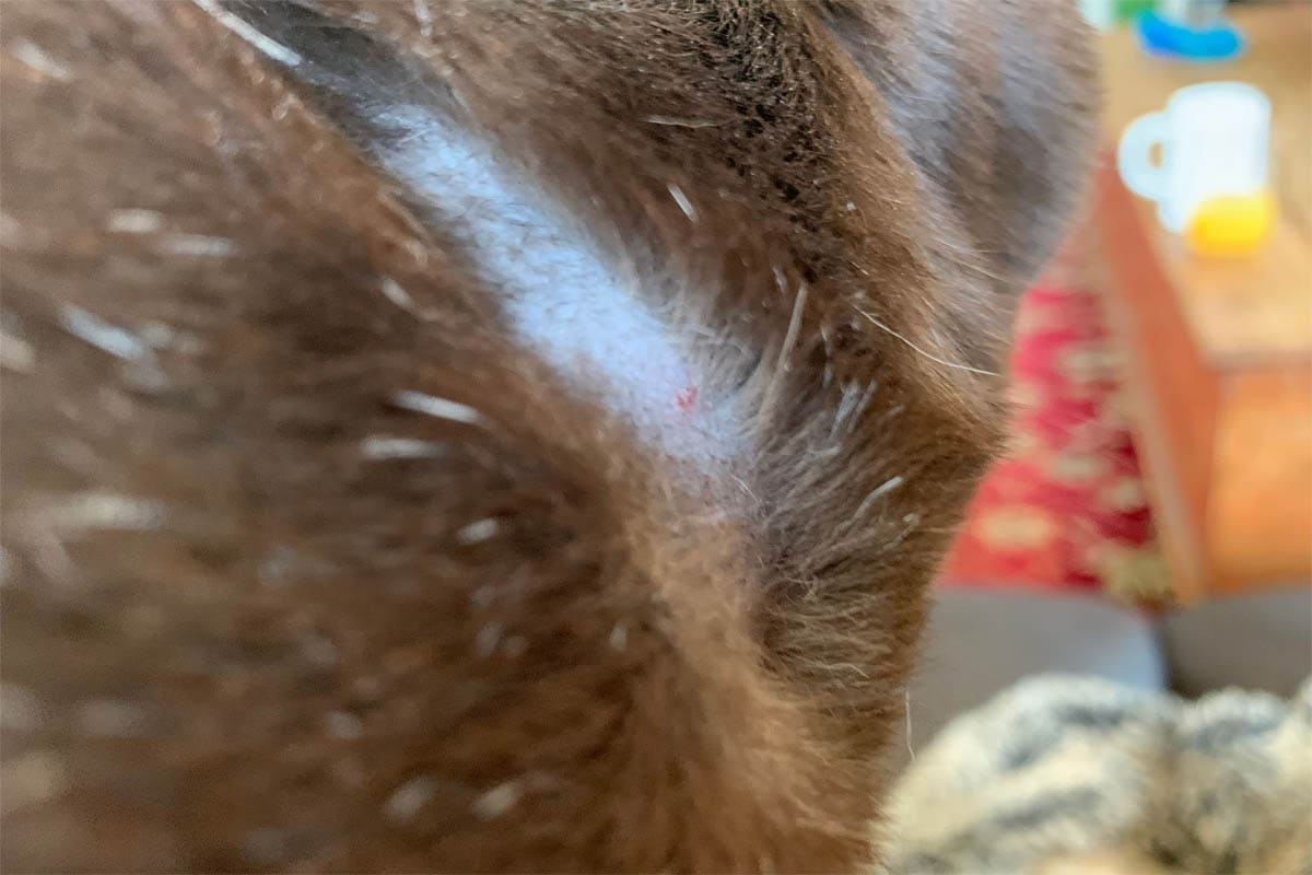 Scabs on a cat's neck from a collar