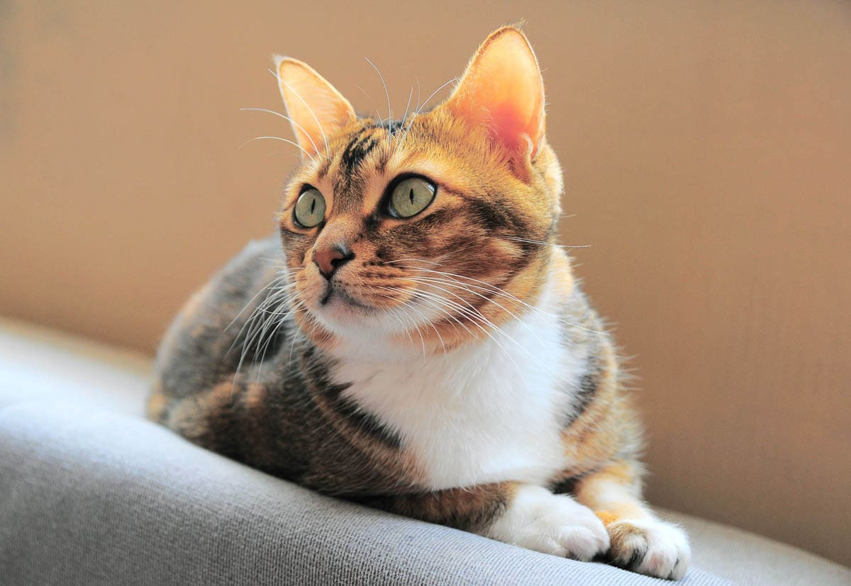 Bladder infection in cats