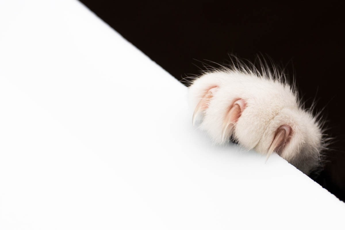 Cat claw disorders