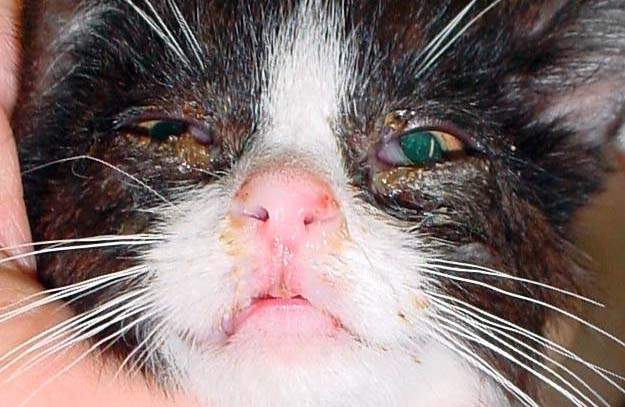 Abnormal discharge in a cat's eyes