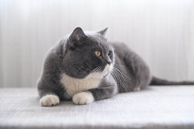 Grey and white British shorthair