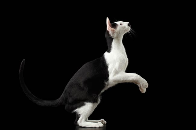 Black and white Oriental cat