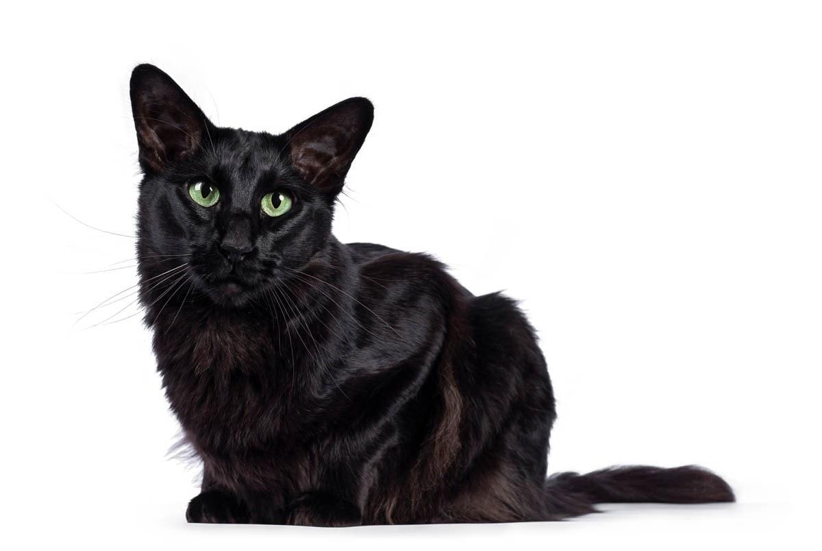 Black Oriental longhair