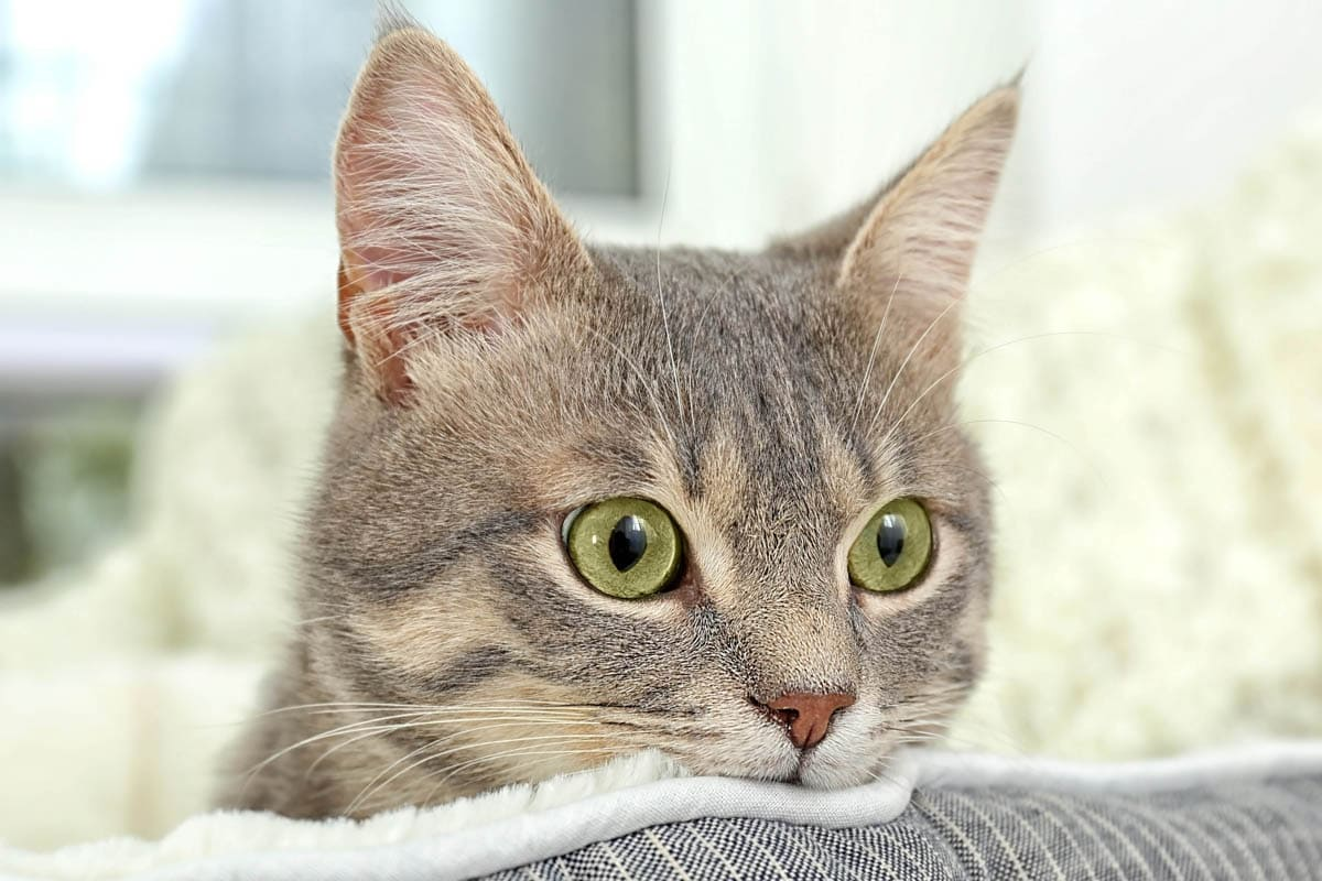 Bladder worms in cats