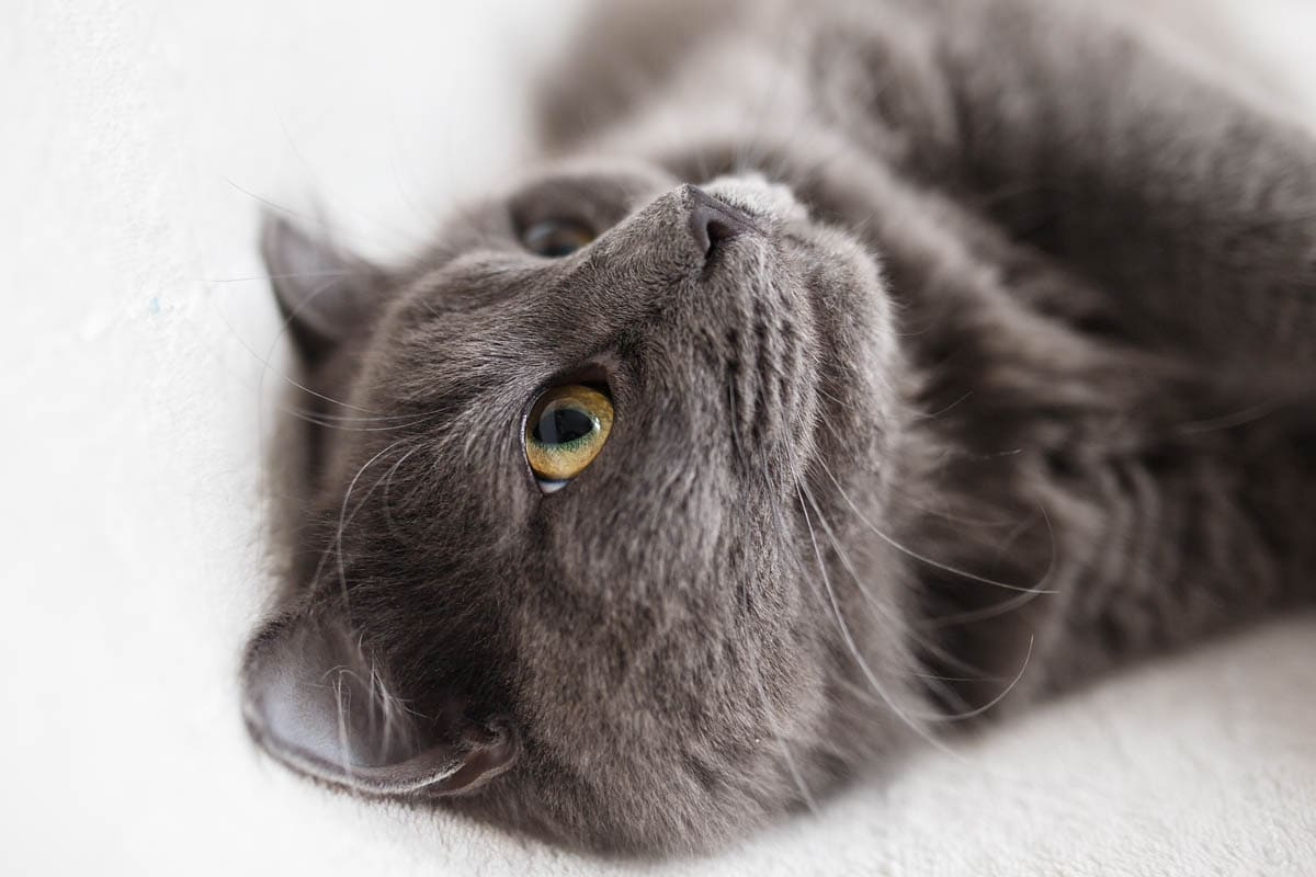Causes of lameness in cats