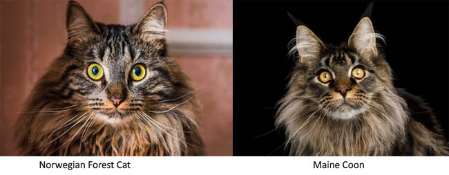 Close up of Norwegian Forest Cat and Maine Coon cats
