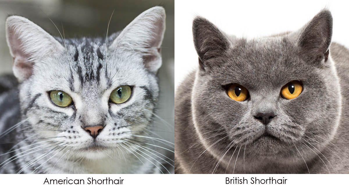 What's the difference between the American Shorthair and the British Shorthair