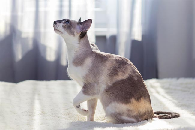 Dilute calico oriental shorthair